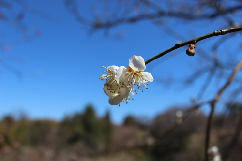 Utatsuyama Plum Grove, The Lobster Dance