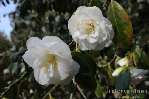 Camellias Seattle | The Lobster Dance 6