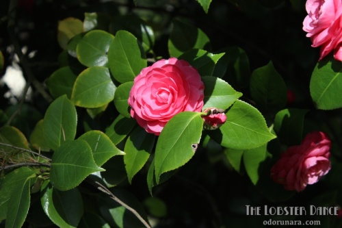 Camellias Seattle | The Lobster Dance 9