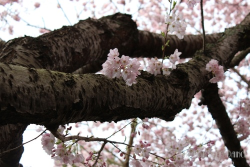 Vancouver Sakura 2015 | The Lobster Dance 5